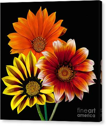 Canvas Print featuring the photograph Gazania Variety by Shirley Mangini