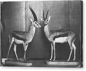 Gazelles In Lower Mammal Gallery Canvas Print by Natural History Museum, London