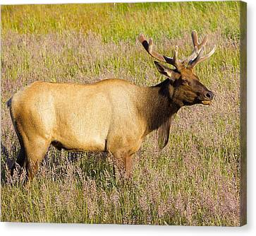 Canvas Print featuring the photograph Gazing Elk by Todd Kreuter