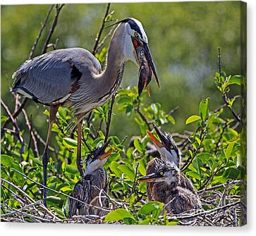 Great Blue Heron Lunch Alfresco Canvas Print