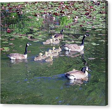 Geese And Goslings Canvas Print