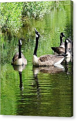 Geese And Green Canvas Print by Kim Bemis