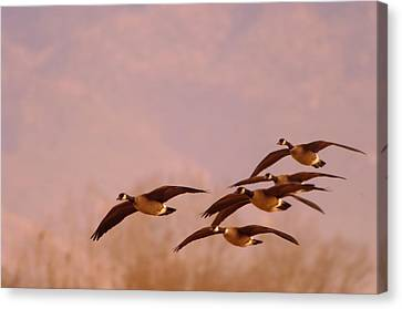 Geese Flying Over Canvas Print by Jeff Swan