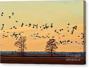 Geese In Flight I Canvas Print by Debbie Portwood