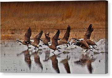 Canvas Print featuring the photograph Geese On The Run by Lynn Hopwood