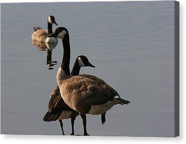 Canvas Print featuring the photograph Geese Twister by Paula Brown