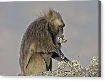 Food In Mouth Canvas Print - Gelada Baboon With Grass by M. Watson