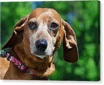 Gem The Miniature Dachshund Canvas Print by Lisa Phillips