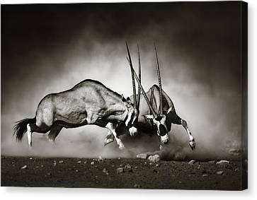 Gemsbok Fight Canvas Print