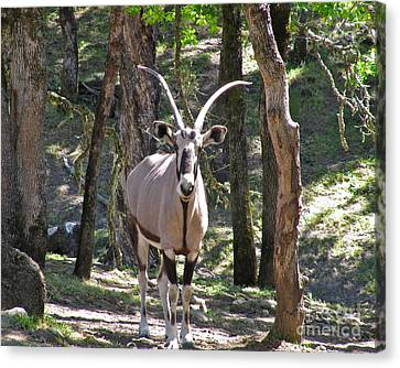 Gemsbok In The Woods Canvas Print by CML Brown