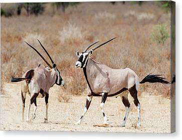 Gemsbok Male And Female Canvas Print by Peter Chadwick