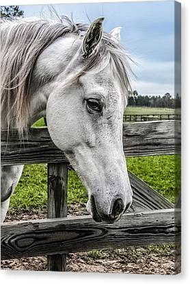 Forelock Canvas Print - Gentle Beauty by CarolLMiller Photography