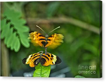 Canvas Print featuring the photograph Gentle Butterfly Courtship 03 by Thomas Woolworth