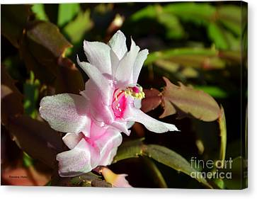 Gentle Pink Canvas Print by Ramona Matei