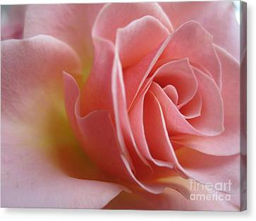 Gentle Pink Rose Canvas Print
