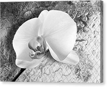 Gentle White Orchid Canvas Print by Ron Regalado