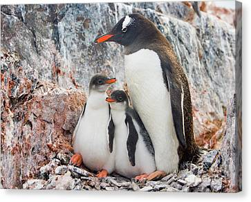 Gentoo Penguin Family Booth Isl Canvas Print by Yva Momatiuk and John Eastcott