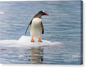 Gentoo Penguin On Ice Floe Antarctica Canvas Print by Yva Momatiuk John Eastcott