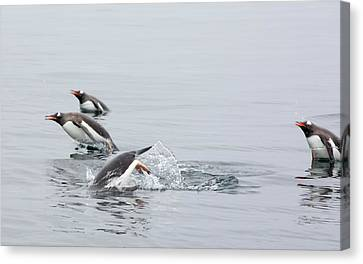 Gentoo Penguins Canvas Print by Ashley Cooper