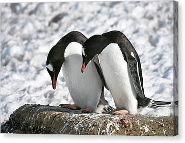 Bonding Canvas Print - Gentoo Penguins Pair Bonding by Dr P. Marazzi
