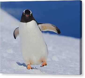 Gentoo Waddle Canvas Print by Tony Beck