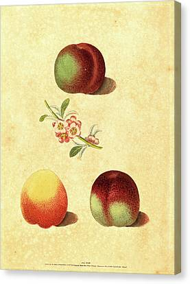 Peaches Canvas Print - George Brookshaw, British Active 1812, Three Peaches by Litz Collection