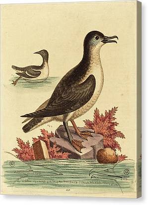 George Edwards English, 1694 - 1773, The Guillemot Canvas Print by Quint Lox