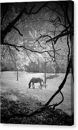 Georgia Horses Canvas Print