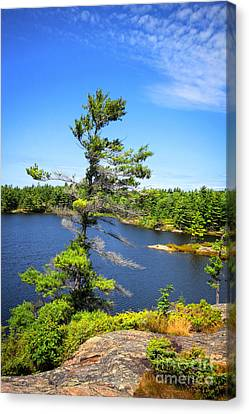 Georgian Bay Pine Tree Canvas Print by Charline Xia