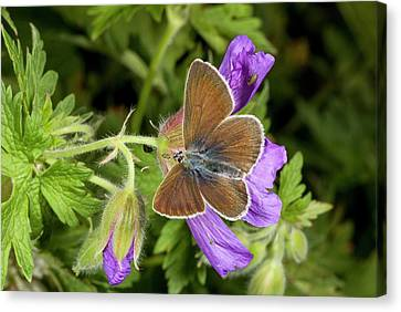 Geranium Argus Butterfly On Cranesbill Canvas Print by Bob Gibbons