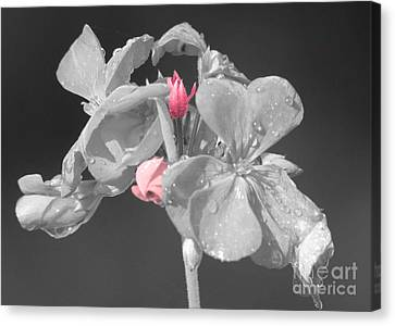 Geranium Canvas Print by Cindy Manero