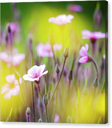 Lilac Canvas Print - Geranium by Heiko Koehrer-Wagner