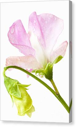 Geranium Pink Canvas Print