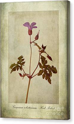 Macro Geranium Flower Canvas Print - Geranium Robertianum by John Edwards