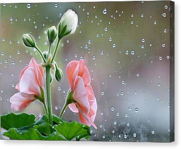 Geraniums Canvas Print