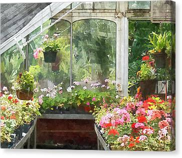 Geraniums In Greenhouse Canvas Print by Susan Savad