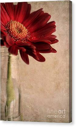 Gerber 02 Canvas Print by Darren Fisher