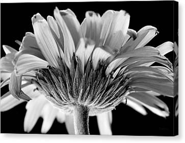 Gerber Daisy In Bw Canvas Print by Deborah  Crew-Johnson