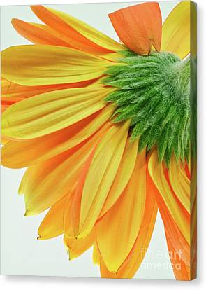 Gerber Daisy Number 1 Canvas Print