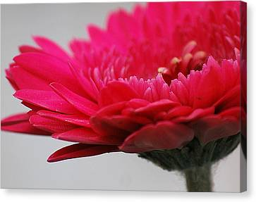 Canvas Print featuring the photograph Gerber In Pink by Amee Cave