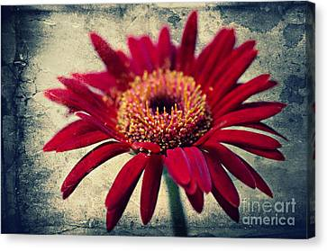 Gerbera Canvas Print by Angela Doelling AD DESIGN Photo and PhotoArt