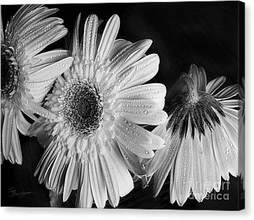 Gerbera Daisies Black And White Canvas Print by Tom Brickhouse