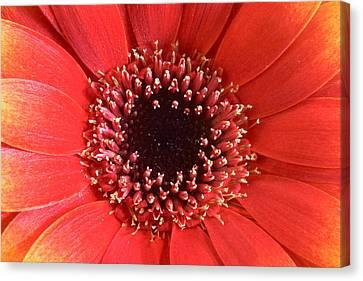 Gerbera Daisy Flower IIi Canvas Print by Natalie Kinnear