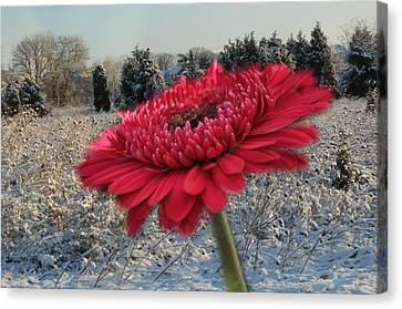 Gerbera Daisy In The Snow Canvas Print by Trish Tritz