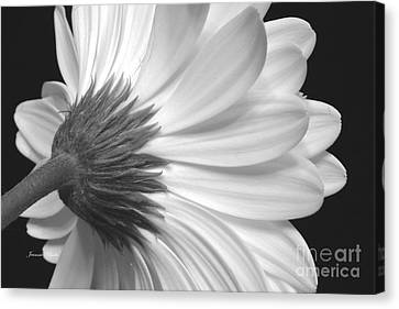 Gerbera Daisy Monochrome Canvas Print by Jeannie Rhode