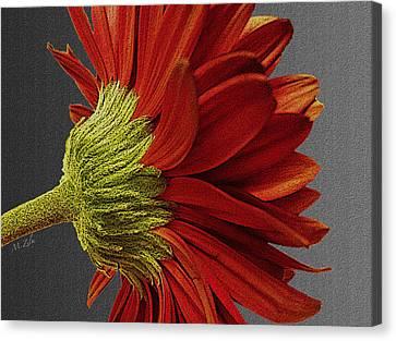 Gerbera In Red Canvas Print by Megan Washington