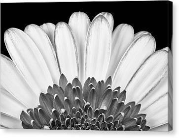 Gerbera Rising Canvas Print by Adam Romanowicz