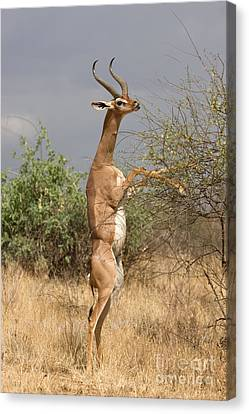 Canvas Print featuring the photograph Gerenuk Antelope by Chris Scroggins