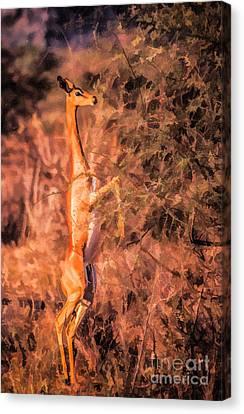 Gerenuk Feeding Canvas Print