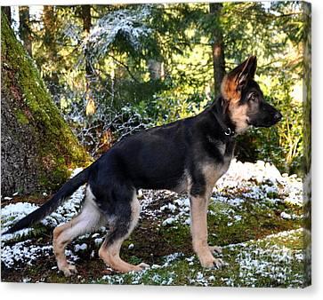 German Shepherd Pup Canvas Print by Tanya  Searcy